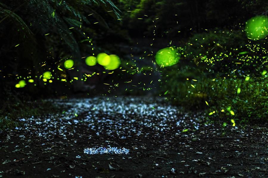 新竹縣桐花開,就進入螢火蟲活動的旺季,各鄉間小道有桐花處入夜都看得到螢火蟲。(羅浚濱攝)
