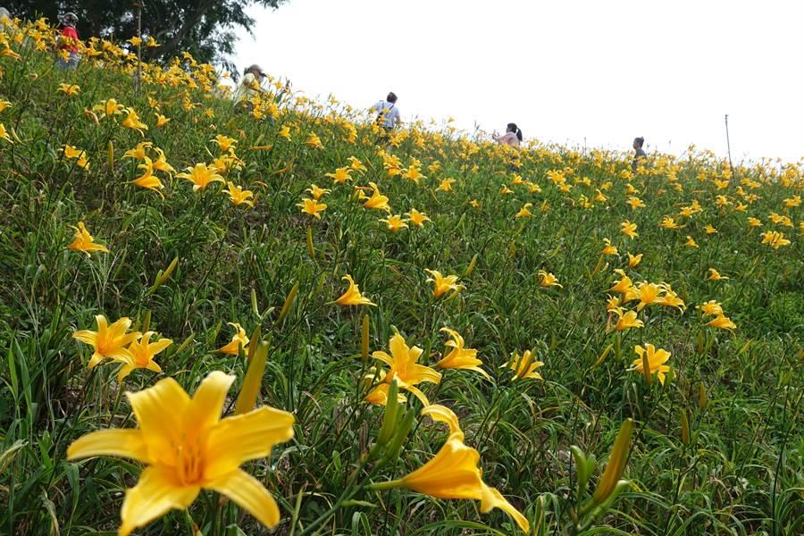 彰化花壇虎山岩旁金針花海正在盛放,平、假日都吸引大批賞花人潮。(謝瓊雲攝)