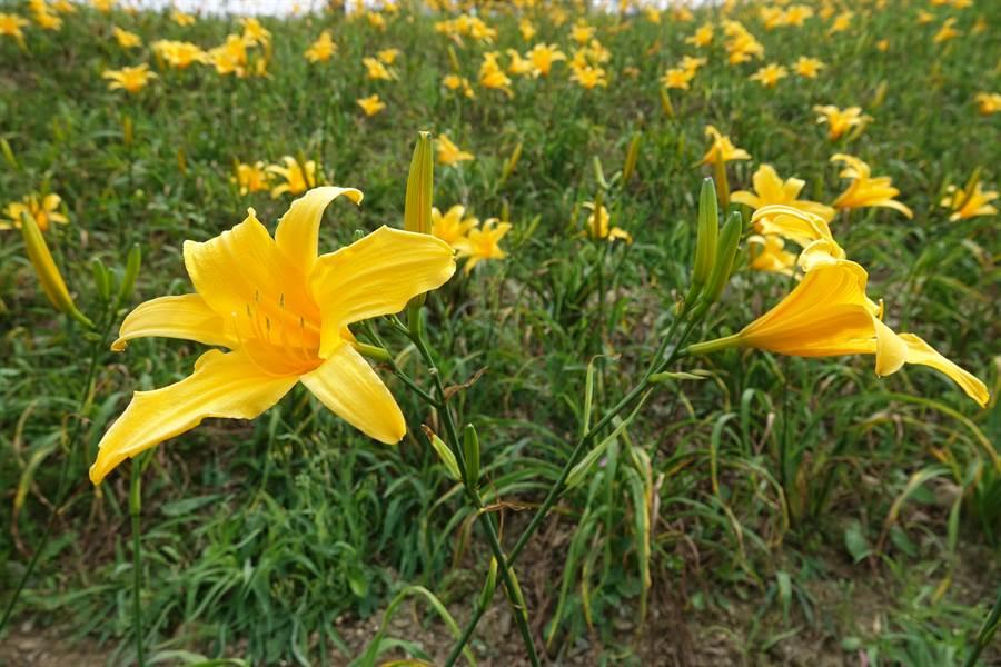 花坛虎山岩旁金针花于去年三月起种植,目前占地0.4公顷,是新品种的台东七号金针花,色泽金黄。