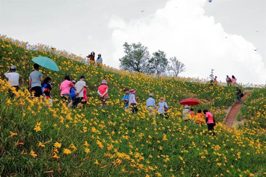 开在山坡地上的大片金针花海,吸引游客驻足欣赏,虎山岩志工用心维护环境,并以红砖堆砌出赏花阶梯步道。