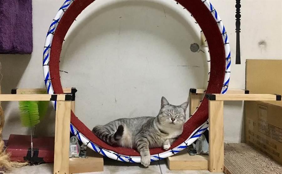 輔導教師陳小藍為3隻貓咪打造舒適的樂園,擅長手作的她還用呼拉圈做了貓用跑步機。(圖/陳小藍提供)