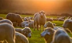 羊群誤闖擠爆住家 他莫名變牧羊人