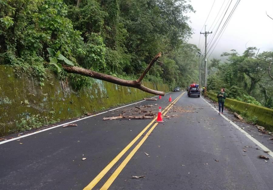 位於東勢林管處所屬117林班地的樹木,疑朽壞斷裂,從邊坡突然倒下,砸中路過車輛。(讀者提供)