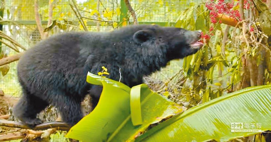 南安小黑熊經過9個月野訓,學會採果等技能。(許家寧翻攝)