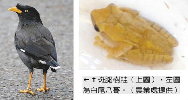 斑腿樹蛙(右圖),左圖為白尾八哥。(農業處提供)