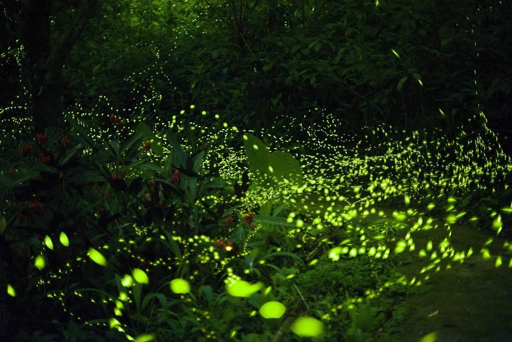 新北市烏來區雲仙樂園近期螢火蟲大爆發,非常適合上山賞螢。(葉書宏翻攝)