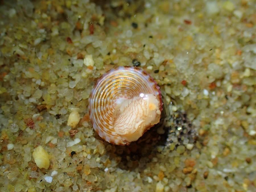 「金門鐘螺」前2個螺紋為米色和粉紅色,其餘部分為深紫色至淡紫色、金黃色至象牙色,間隙內有強褐色線狀,臍帶表面呈虹彩狀。(洪清漳老師提供)