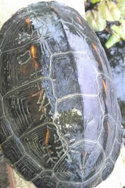 陳屍和平島的「許X珠」烏龜 遭爆5年前就有
