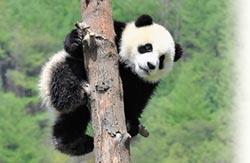 貓熊學名150年 數量壽命漸上升