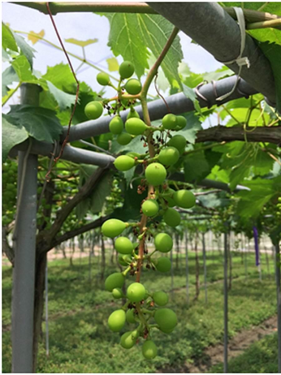 台中農改場表示,葡萄開花後一個月內,幼果約僅花生粒大小,此時即可疏果、施藥,並套袋,可有效預防葡萄晚腐病發生。(謝瓊雲翻攝)