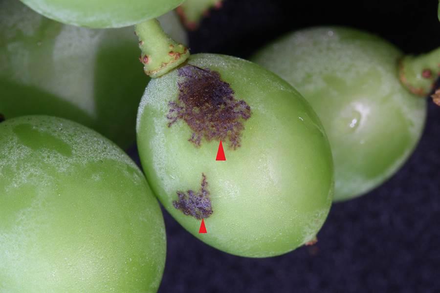 農改場研究員提醒,若發現葡萄幼果開始顯現網紋狀晚腐病病斑 (紅色箭頭指處),此類病果應剪除後再行套袋。(謝瓊雲翻攝)