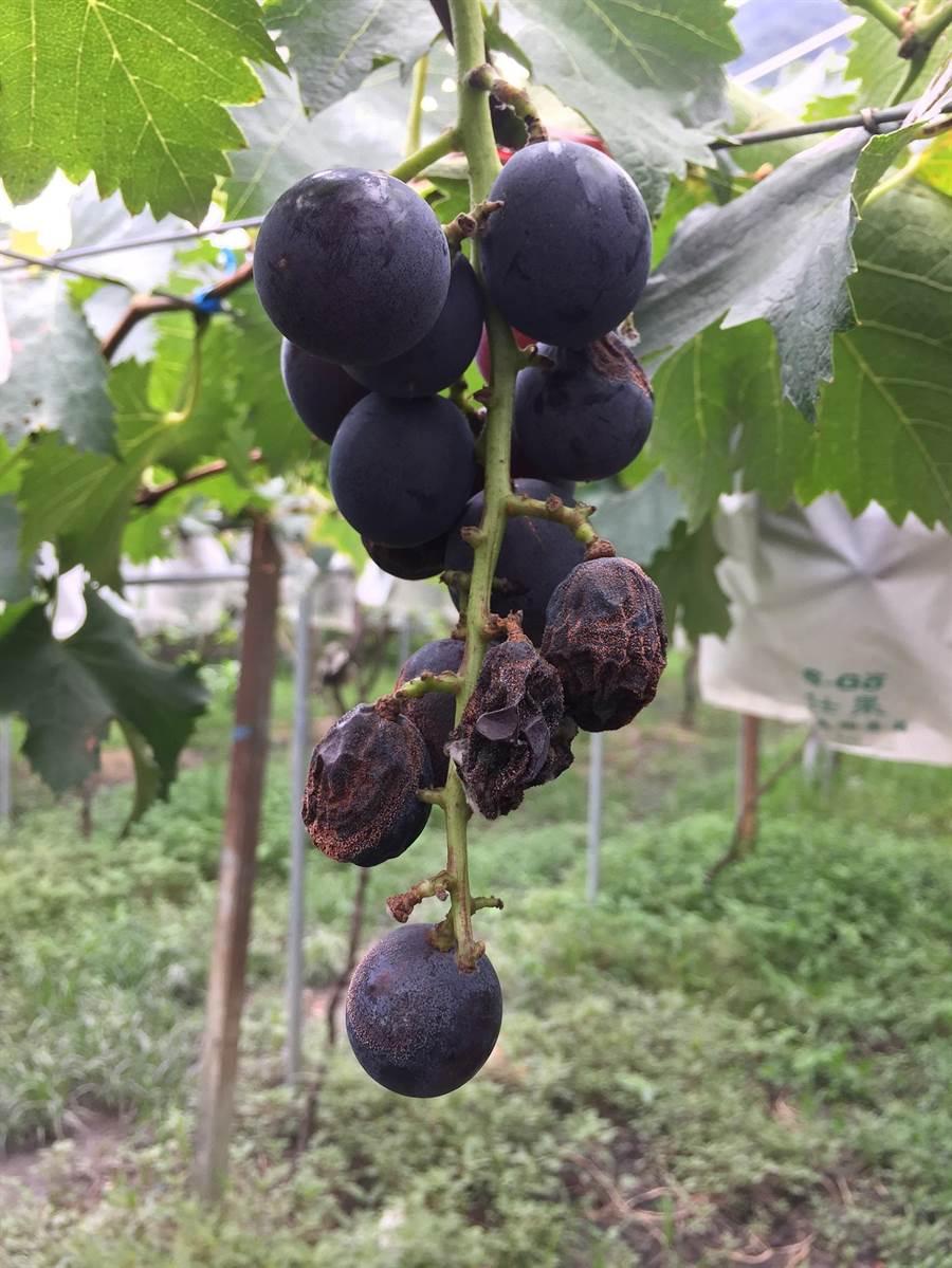 慘變葡萄乾!葡萄晚腐病會在果實成熟後才顯現病徵,使果實腐爛皺縮失去商品價值。(謝瓊雲翻攝)