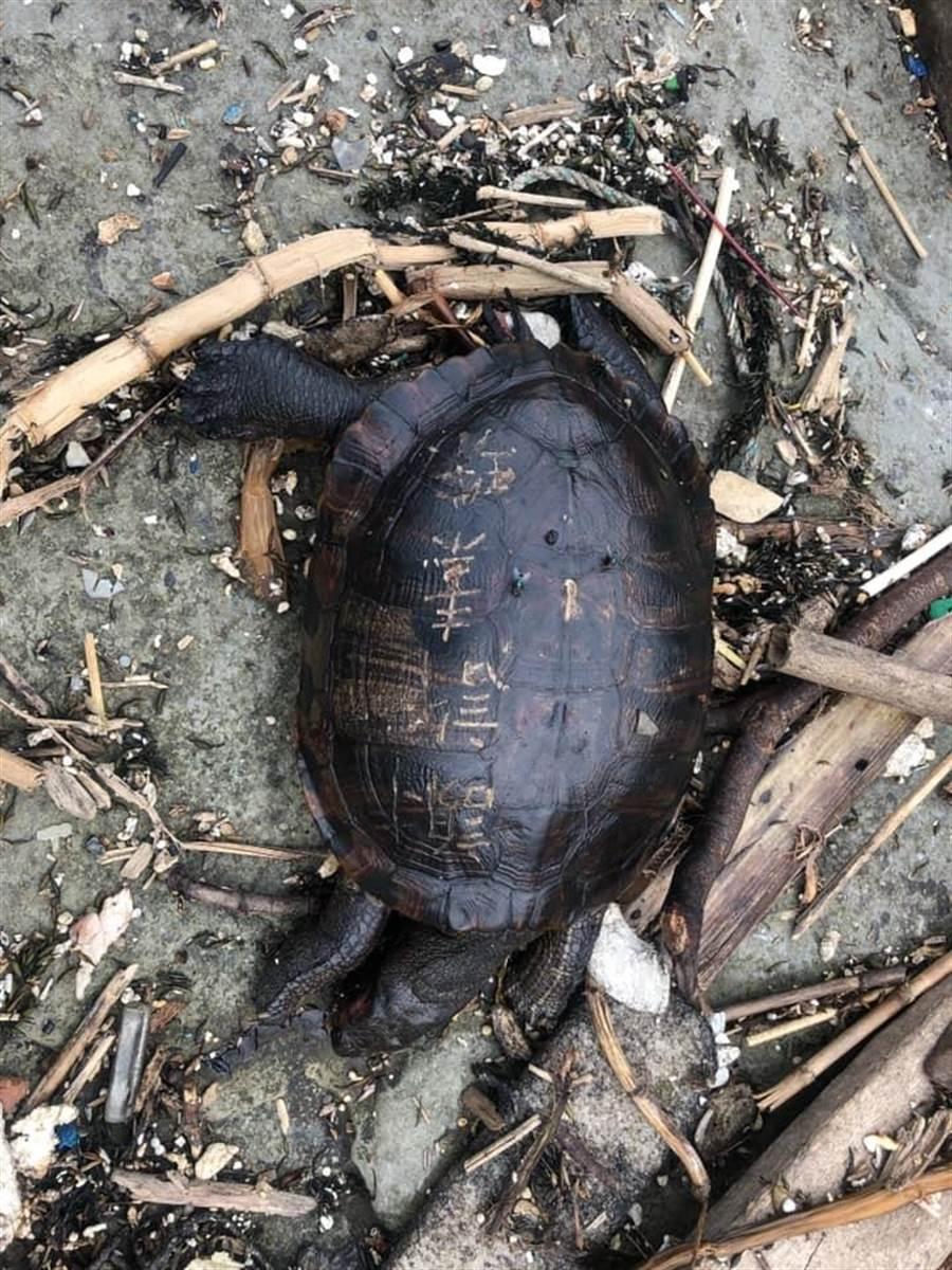 基隆市和平島公園阿拉寶灣4月30日被發現1隻死掉的淡水龜,龜殼上方竟被刻上「謝許素珠」4個大字,讓民眾感到憤怒又不捨。(翻攝自和平島公園臉書)