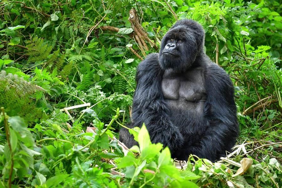 黑猩猩搶人類自拍棒! 被同伴超有禮貌制止物歸原主(示意圖/達志影像)