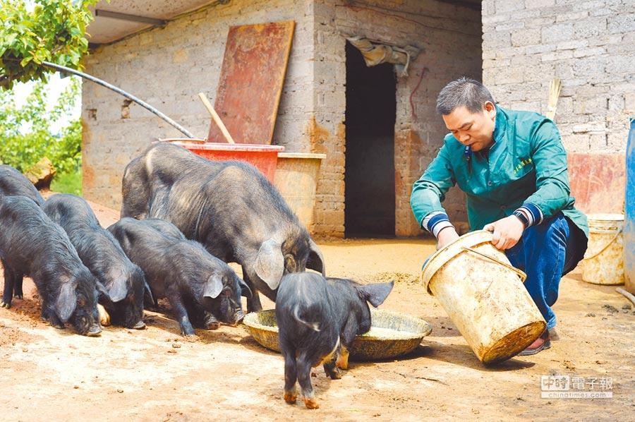 4月16日,在貴州亞魚鄉郭家灣村的養豬能手吳廣吹哨子召喚黑毛跑山豬進食。(新華社)