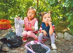 桑樹從根皮到果實 皆可入藥