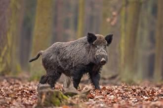 野豬來囉! 上班途中被野豬撞飛 驚人影片在網瘋傳