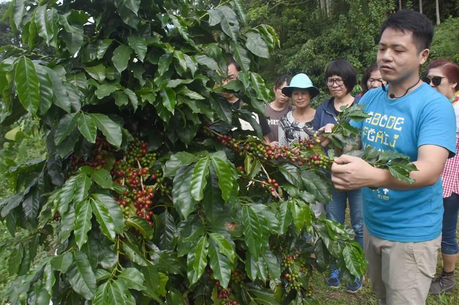 日月潭咖啡已成魚池鄉重要新產業。(沈揮勝攝)