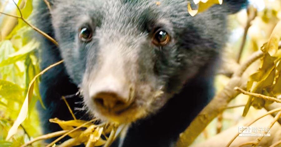 1岁的小黑熊布妮正式野放回卓溪山区。