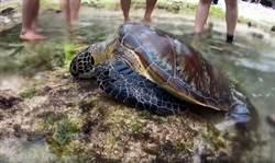 小琉球海龜遭獵殺「牠一直努力想呼吸」