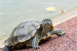 用人體比喻…烏龜是長了四肢的蛋蛋