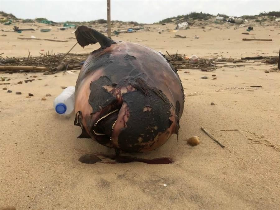 金門岸巡隊昨(4)日又在金沙鎮E54據點岸際發現1隻保育類死亡江豚。(岸巡提供)