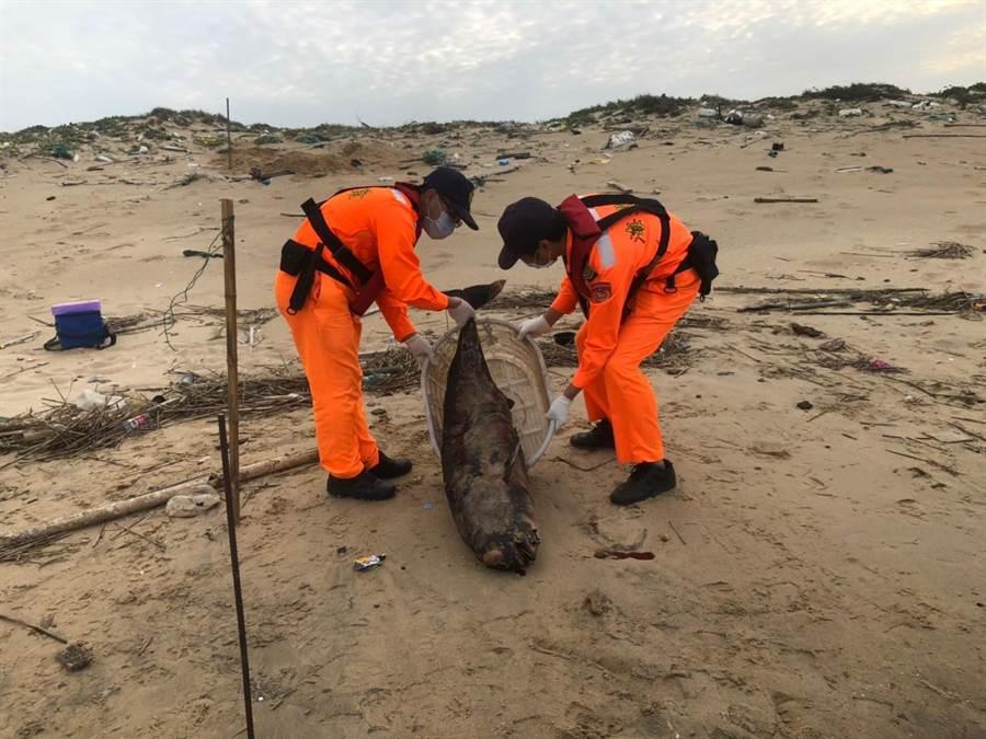 死亡鯨豚因已嚴重腫脹及腐爛,在完成檢體採集後就地掩埋。(岸巡提供)
