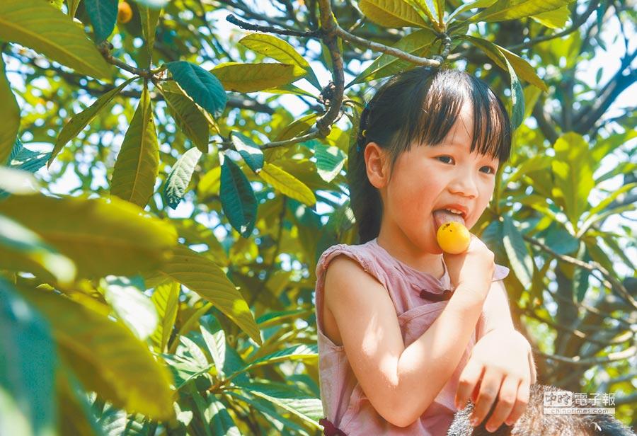 枇杷的胡蘿蔔素含量豐富,可預防感冒,圖為6歲孩童在浙江品嘗枇杷。(新華社資料照片)