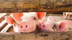 驚見「人舌鼠頭」怪豬 網友嚇壞