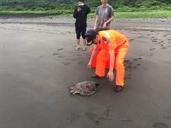 別再回來了!綠蠵龜「壯壯」今海放