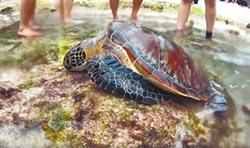 小琉球海龜 慘遭魚叉穿甲獵殺