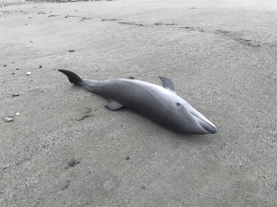 弗式小海豚身長約110公分,身上無明顯外傷。(許家寧翻攝)