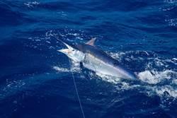 釣到3百公斤海怪 巨型劍魚好驚人