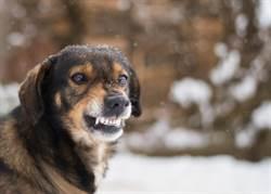 狗狗遇敵超勇猛!狂吠反擊獅嚇傻