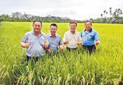 稻作倒伏 農糧署籲勿搶收