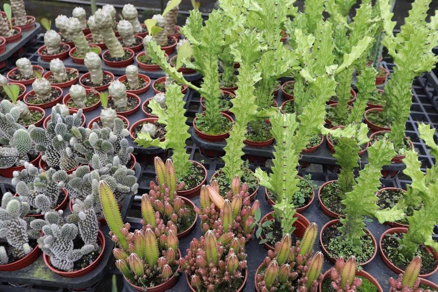 多肉植物種類千百種,仙人掌也是其中的一類,易養易種。(劉秀芬攝)