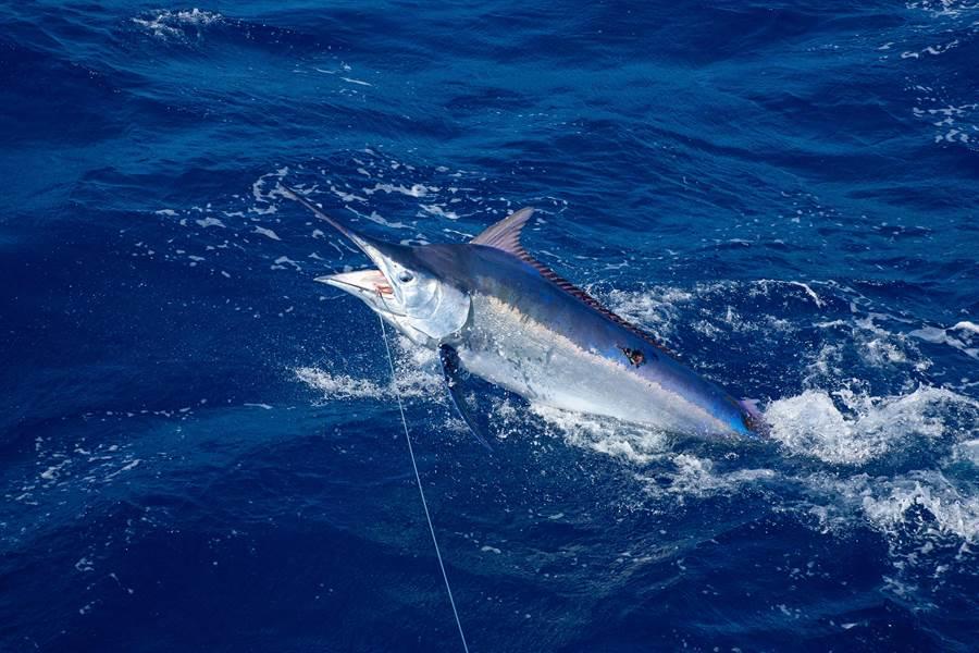 釣到3百公斤海怪 巨型劍魚好驚人(示意圖/達志影像)