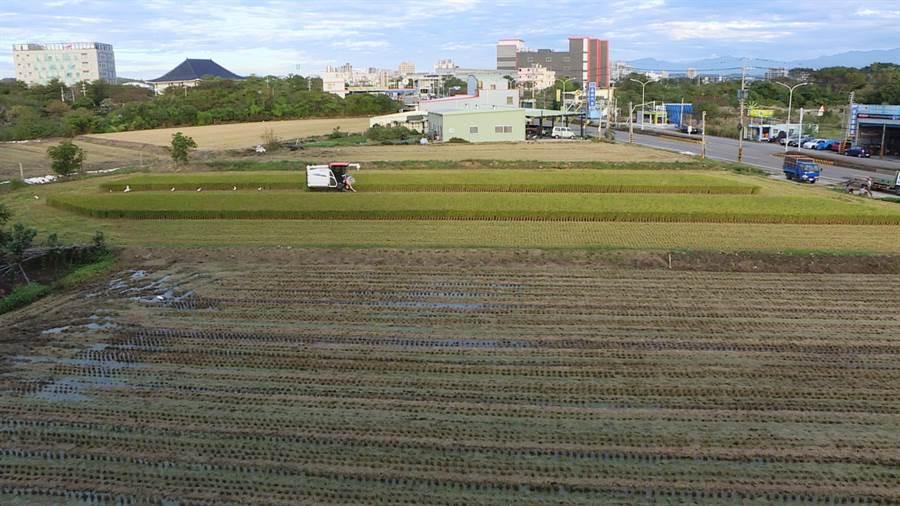 苗栗區農改場與苗栗縣環保局合作,推廣速效稻草分解菌取代稻作燃燒,降低空氣汙染。(何冠嫻攝)