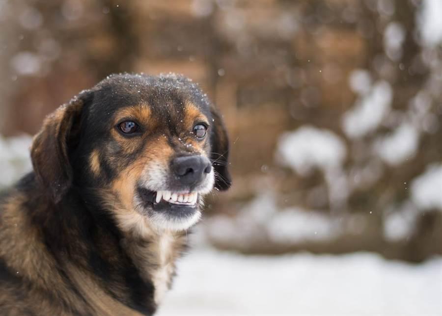 狗狗遇敵超勇猛!狂吠反擊獅嚇傻(示意圖/達志影像)