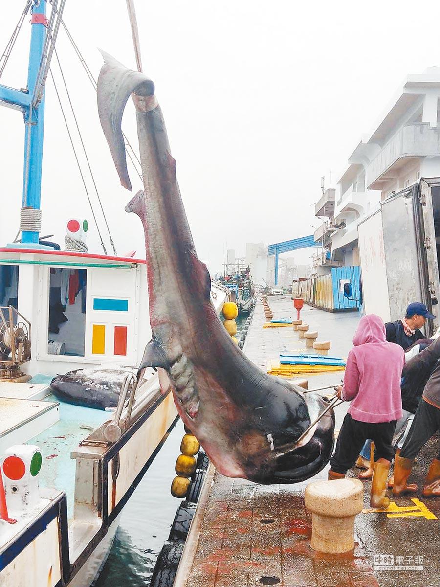 花蓮籍「鑫昇寶36」漁船6日清晨捕獲一尾已死的巨口鯊,返港後主動向岸巡隊通報,經採樣後,將魚體交由船主拍賣利用。(第一二岸巡隊提供)
