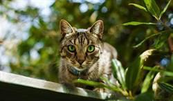 貓貪玩咬斷耳機 竟叼回超猛賠罪品