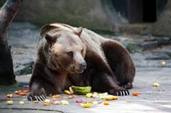 遊客日餵百公斤食物 棕熊狂烙賽!