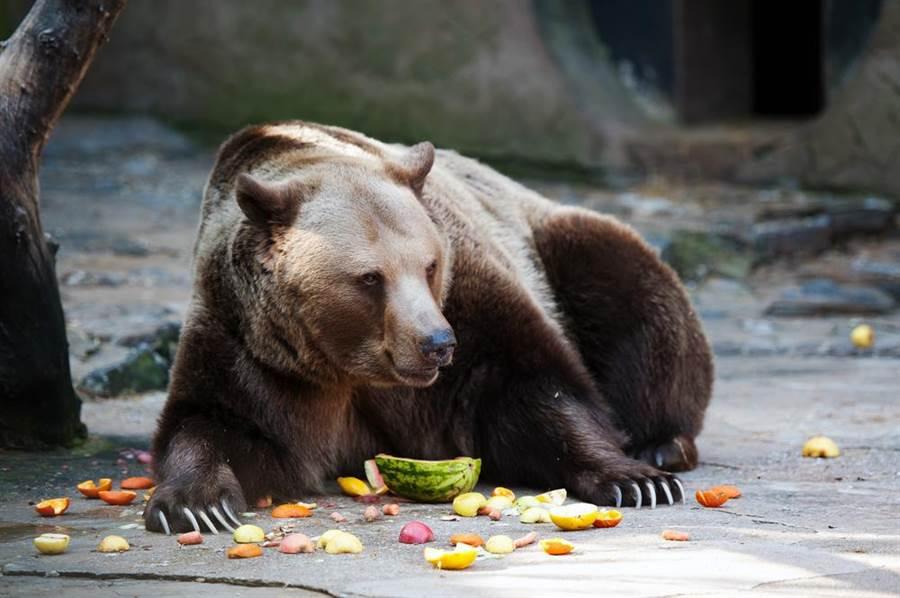 示意圖非當事棕熊。(圖/ 取自達志影像)