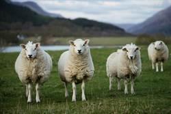 學生不夠!家長找15隻羊當同學