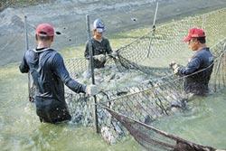雲林地方創生 台灣鯛打頭陣