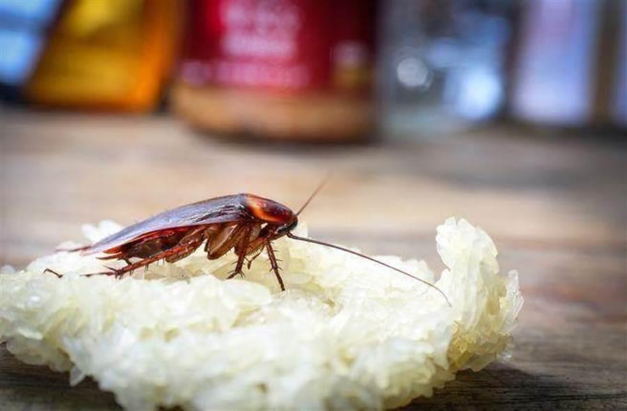 蟑螂,尤其是會飛的蟑螂是人們唯恐避之不及的事物 (圖/達志影像)