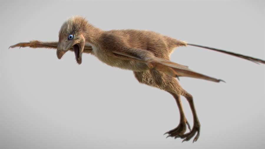 蝙蝠恐龍如鴿子一般大,它有羽毛,不過它的翅膀是以皮膜飛行,有著與蝙蝠類似的長手指。(圖/中國科學院)