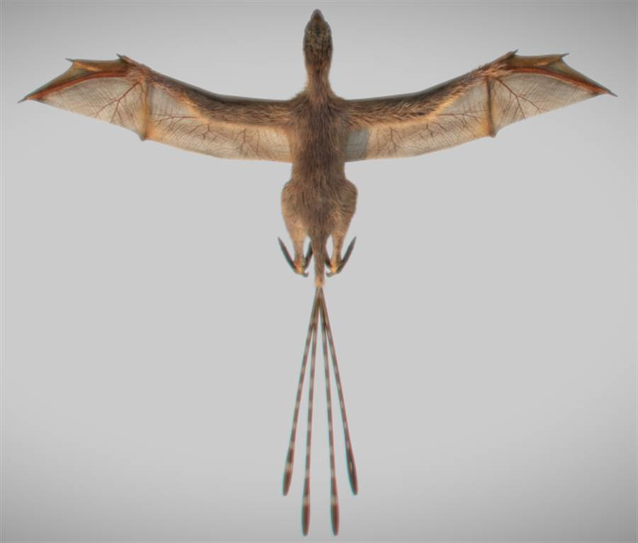 蝙蝠恐龍的上視圖,翅膀以手指支撐大片的皮膜。(圖/中國科學院)
