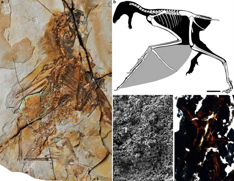 蝙蝠恐龍的化石模樣,輕易的可以發覺它有羽毛。(圖/中國科學院)