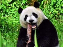 貓熊「筍」友奧秘多!團團啃筍如吃甜筒樂開懷